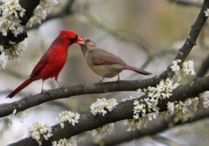 cardinals alt